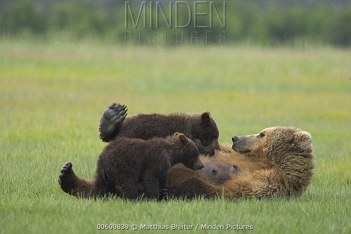 Grizzly Bear (Ursus arctos horribilis) adult female nursing her two yearling cubs on sedge flats, Katmai National Park, Alaska  -  Matthias Breiter