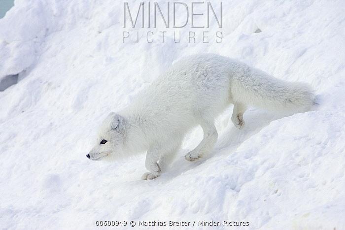 Arctic Fox (Alopex lagopus) on snow drift in arctic tundra, Canada  -  Matthias Breiter