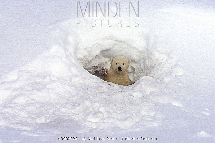 Polar Bear (Ursus maritimus) three month old cub looking out of its birth den, vulnerable, Wapusk National Park, Manitoba, Canada  -  Matthias Breiter