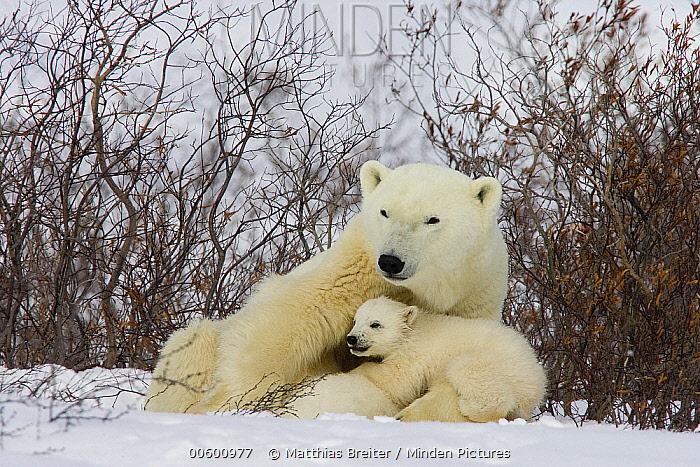 Polar Bear (Ursus maritimus) three month old cub interrupts nursing to look around second cub continues to nurse, vulnerable, Wapusk National Park, Manitoba, Canada  -  Matthias Breiter