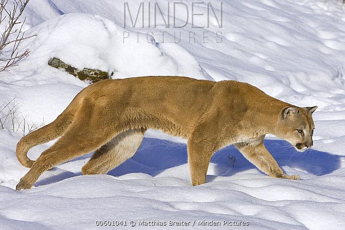 Mountain Lion (Puma concolor) hunting in the snow, Kalispell, Montana  -  Matthias Breiter