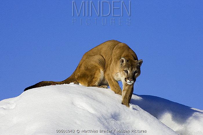 Mountain Lion (Puma concolor) in the snow, Kalispell, Montana  -  Matthias Breiter