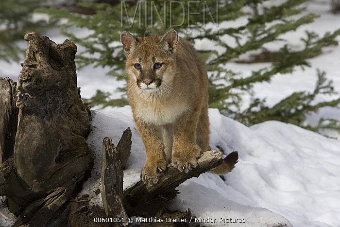 Mountain Lion (Puma concolor) cub, Kalispell, Montana  -  Matthias Breiter