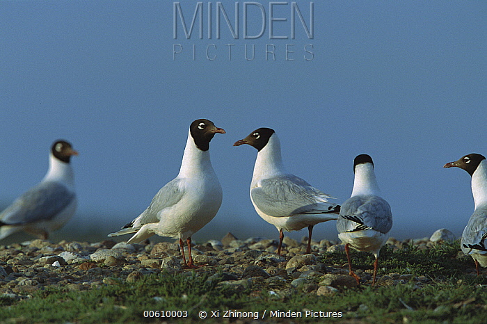 Relict Gull (Larus relictus) flock on ground, Inner Mongolia  -  Xi Zhinong