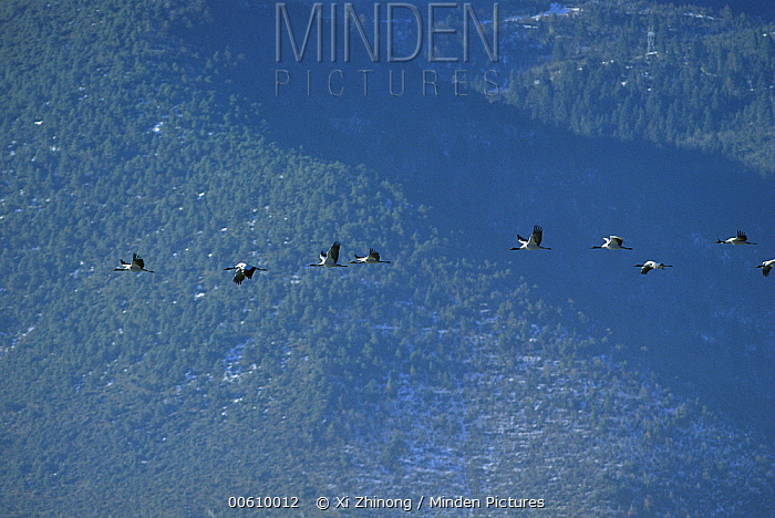 Black-necked Crane (Grus nigricollis) flock flying against mountains, Diging Prefecture, Yunnan Province, China  -  Xi Zhinong