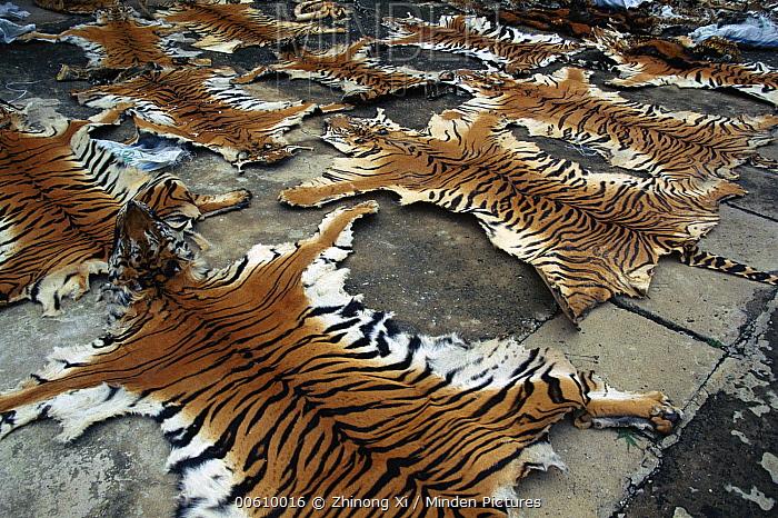 Tiger (Panthera tigris) confiscated skins from Yunnan-Burma border, Yunnan Province, China  -  Xi Zhinong