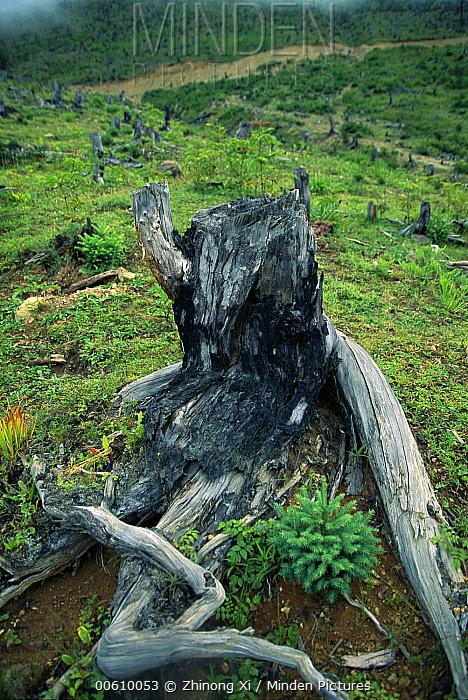 Logged forest in the habitat of the Yunnan Snub-nosed Monkey (Rhinopithecus bieti), Deqin, Yunnan Province, China  -  Xi Zhinong