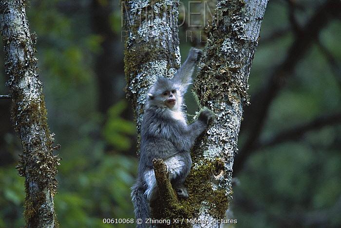 Yunnan Snub-nosed Monkey (Rhinopithecus bieti) juvenile in tree, Weixi County, Yunnan Province, China  -  Xi Zhinong