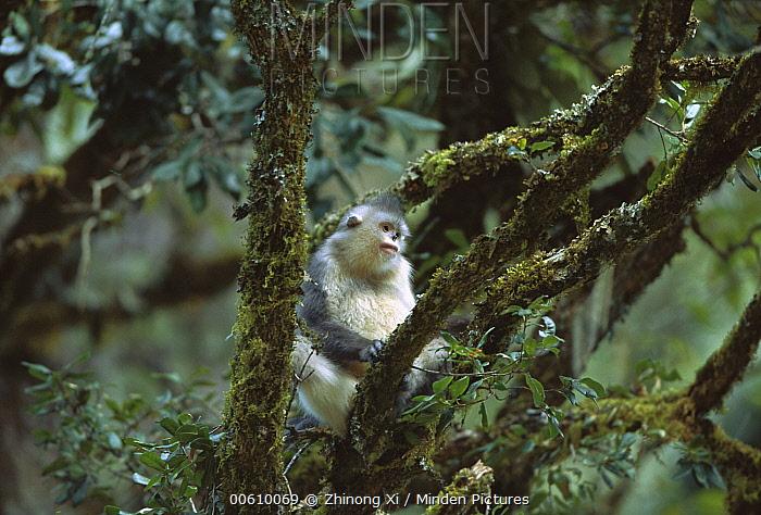 Yunnan Snub-nosed Monkey (Rhinopithecus bieti) in tree, Weixi County, Yunnan Province, China  -  Xi Zhinong