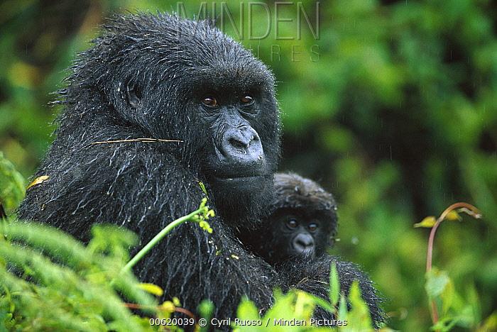 Mountain Gorilla (Gorilla gorilla beringei) female with her three month old newborn, Parc National Des Volcans, Rwanda  -  Cyril Ruoso