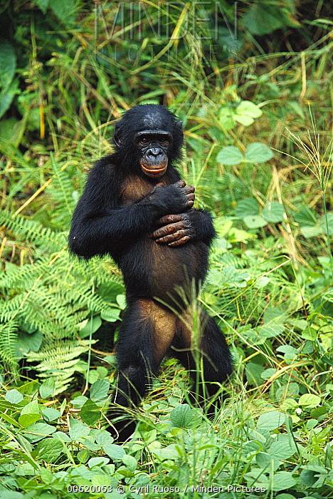 Bonobo (Pan paniscus) portrait of female standing, ABC Sanctuary, Democratic Republic of the Congo  -  Cyril Ruoso