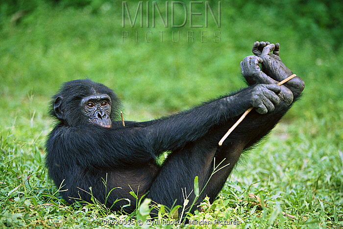 Bonobo (Pan paniscus) female playing in the grass, ABC Sanctuary, Democratic Republic of the Congo  -  Cyril Ruoso