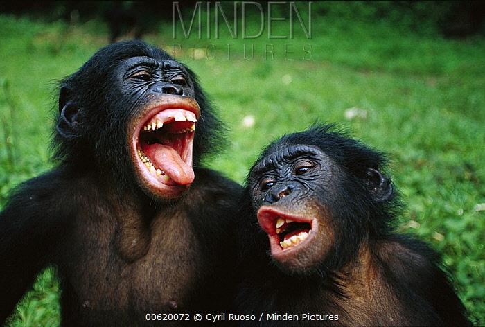 Bonobo (Pan paniscus) juvenile pair making funny faces, Democratic Republic of the Congo  -  Cyril Ruoso