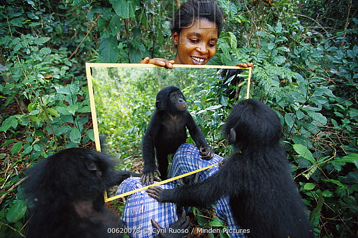 Bonobo (Pan paniscus), baby does not recognize himself in a mirror, ABC Sanctuary, Democratic Republic of the Congo  -  Cyril Ruoso