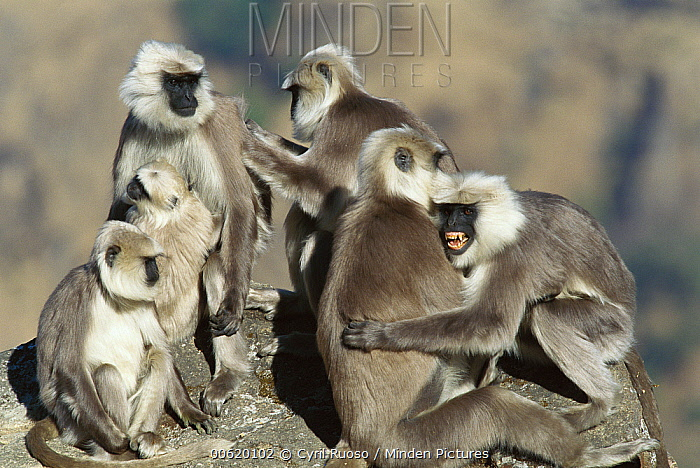 Central Himalayan Langur (Semnopithecus schistaceus) family group grooming each other, Himalayan Mountains in winter at 2,500 meters elevation, Nepal  -  Cyril Ruoso