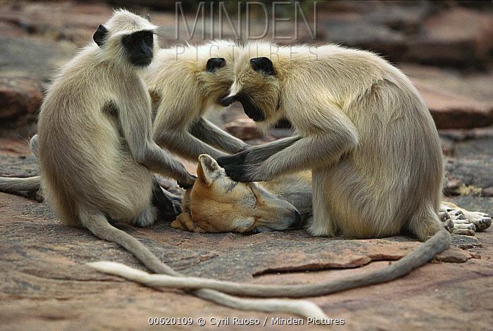 Hanuman Langur (Semnopithecus entellus) group grooming a dog, Rajasthan, India  -  Cyril Ruoso