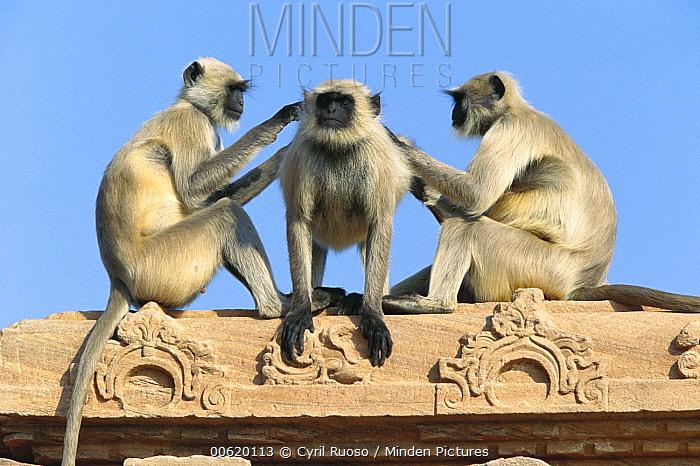 Hanuman Langur (Semnopithecus entellus) three on building grooming each other, Rajasthan, India  -  Cyril Ruoso