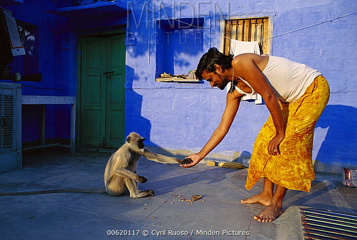 Hanuman Langur (Semnopithecus entellus) taking food offered by a man in the city of Jodhpur, Rajasthan, India  -  Cyril Ruoso
