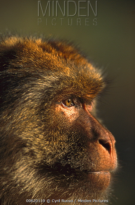 Barbary Macaque (Macaca sylvanus) close-up portrait of a male, Morocco  -  Cyril Ruoso