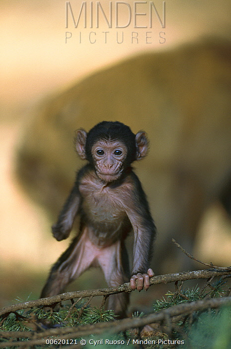 Barbary Macaque (Macaca sylvanus) infant, Morocco  -  Cyril Ruoso