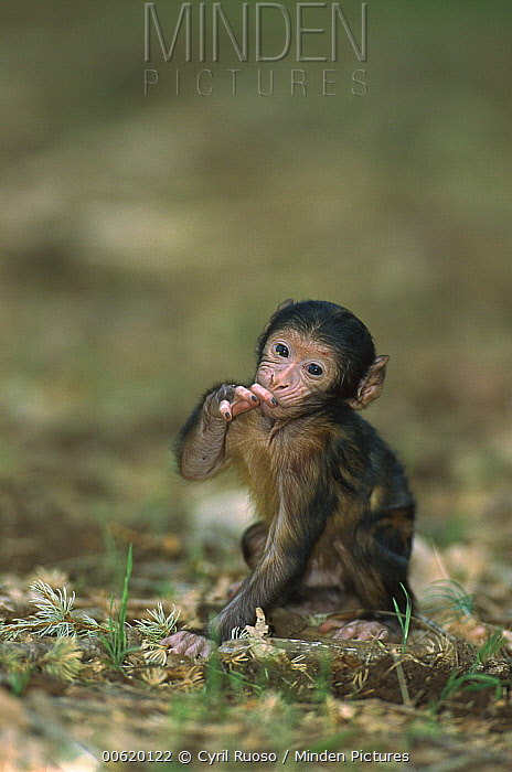 Barbary Macaque (Macaca sylvanus) infant, Morocco  -  Cyril Ruoso