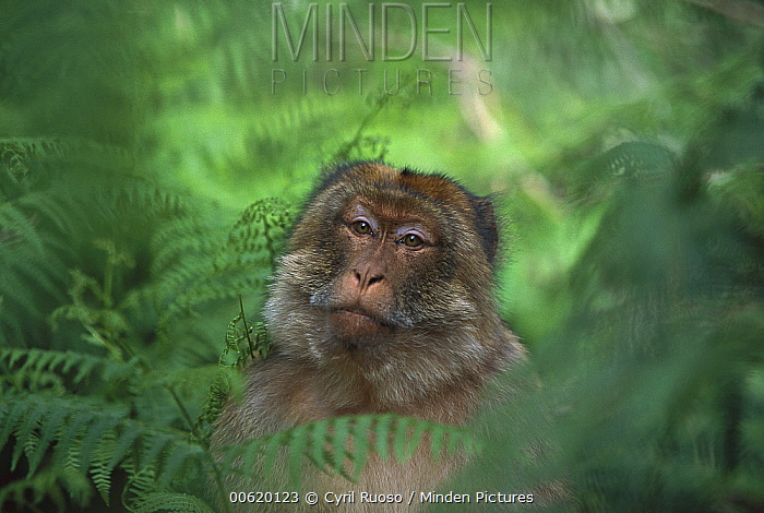Barbary Macaque (Macaca sylvanus) male sitting on ground among ferns, spring, Middle Atlas Mountains, Morocco  -  Cyril Ruoso
