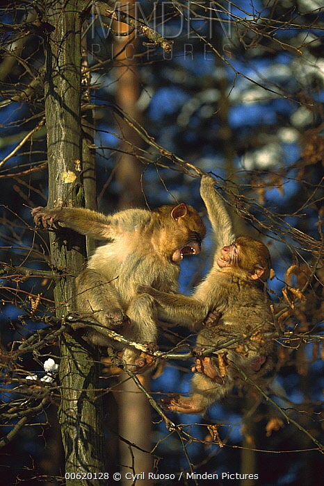 Barbary Macaque (Macaca sylvanus) two young playing in a tree, France  -  Cyril Ruoso