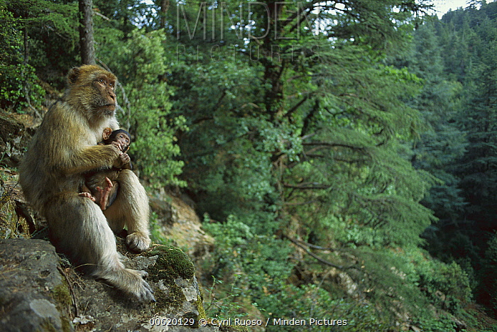 Barbary Macaque (Macaca sylvanus) adult female holding her infant, spring, Middle Atlas Mountains, Morocco  -  Cyril Ruoso