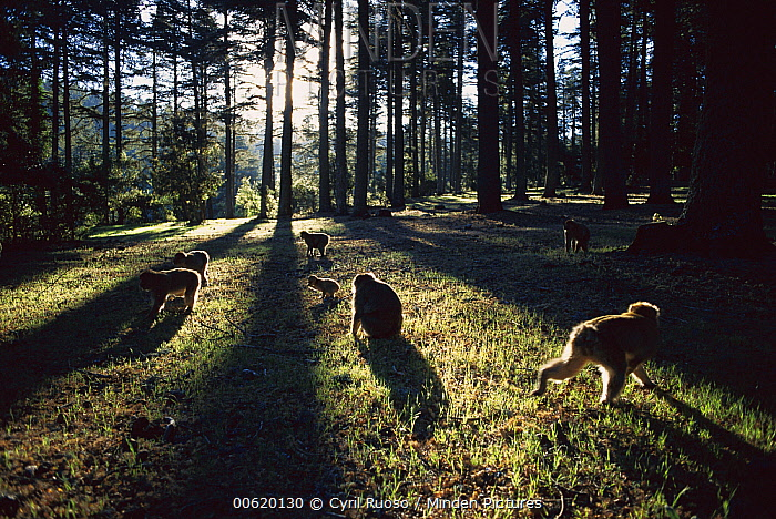 Barbary Macaque (Macaca sylvanus) group backlit on ground in the forest, spring, Middle Atlas Mountains, Morocco  -  Cyril Ruoso