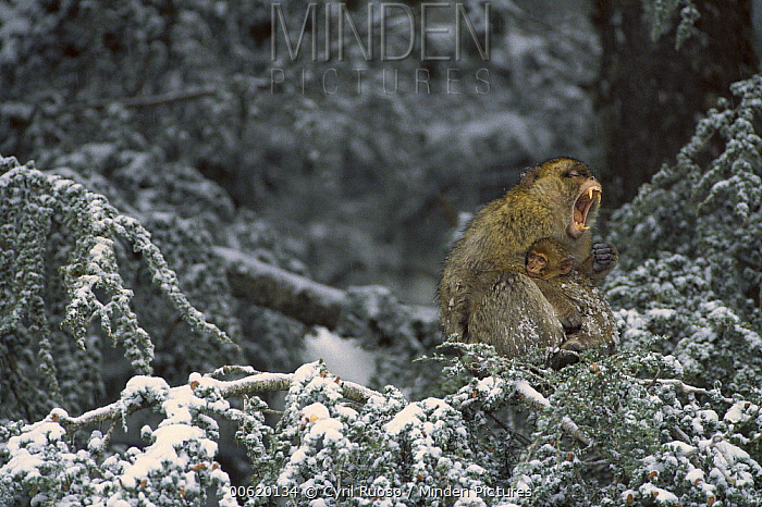 Barbary Macaque (Macaca sylvanus) male with infant in snow-covered tree, winter, Middle Atlas Mountains, Morocco  -  Cyril Ruoso