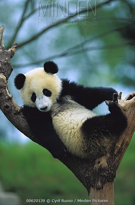 Giant Panda (Ailuropoda melanoleuca) year old cub in a tree, Chengdu Panda Breeding and Research Center, Sichuan, China  -  Cyril Ruoso