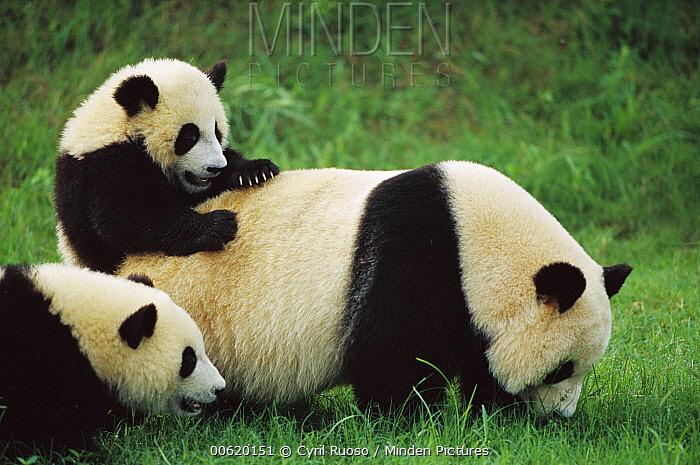 Giant Panda (Ailuropoda melanoleuca) female with year old cubs playing, Chengdu Panda Breeding Research Center, China  -  Cyril Ruoso