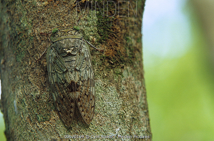 Cicada (Yanga sp) camouflaged against the bark of a tree, southern Madagascar  -  Cyril Ruoso