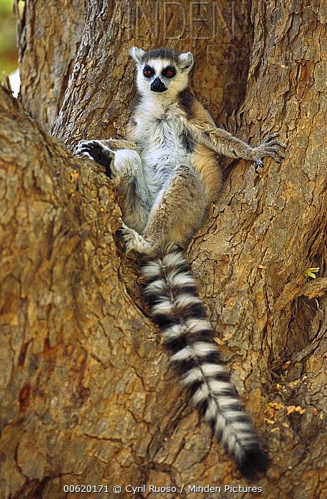 Ring-tailed Lemur (Lemur catta) resting in tree, Berenty Reserve, Madagascar  -  Cyril Ruoso