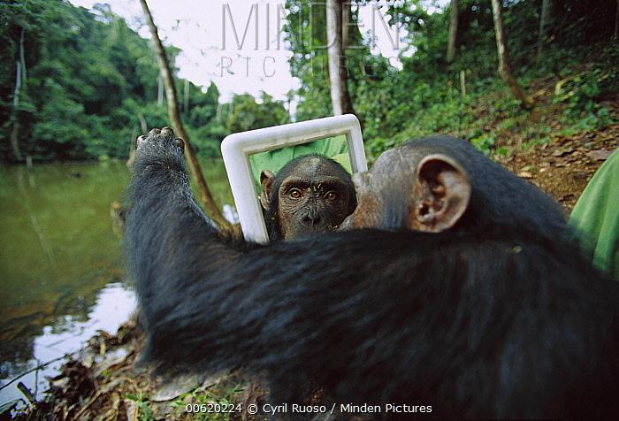 Chimpanzee (Pan troglodytes) female trying to touch behind the mirror, Gabon  -  Cyril Ruoso