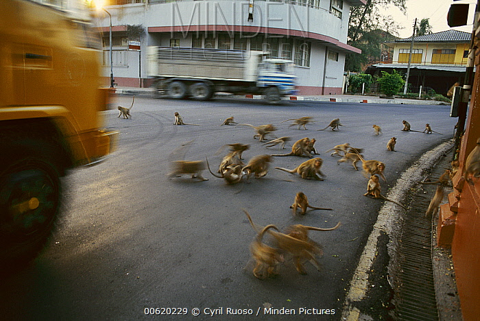 Long-tailed Macaque (Macaca fascicularis) group running in the street, Lopburi, central Thailand  -  Cyril Ruoso