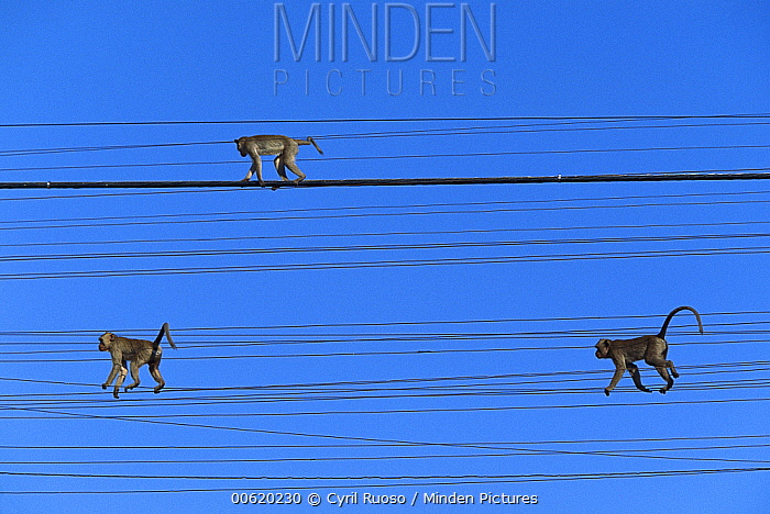 Long-tailed Macaque (Macaca fascicularis) trio walking on telephone lines, Thailand  -  Cyril Ruoso