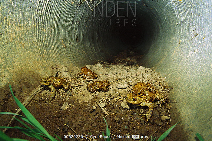 European Toad (Bufo bufo) group during autumn migration to breeding pools, inside an underground tunnel which acts as a wildlife corridor, Europe  -  Cyril Ruoso