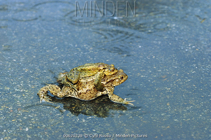 European Toad (Bufo bufo) female with male clinging to her back during autumn migration to breeding pools, Europe  -  Cyril Ruoso