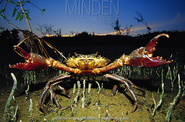 Giant Mud Crab (Scylla serrata) with claws spread wide in defensive posture, Mahakam Delta, Indonesia  -  Cyril Ruoso
