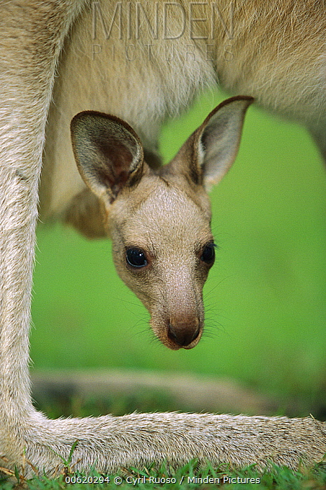 Eastern Grey Kangaroo (Macropus giganteus) joey peeking out of its mother's pouch, Australia  -  Cyril Ruoso