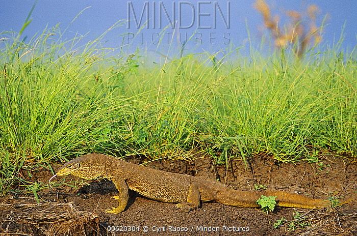 Giant Monitor Lizard (Varanus giganteus) sensing with its tongue, Australia  -  Cyril Ruoso
