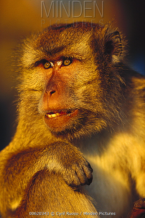 Long-tailed Macaque (Macaca fascicularis) portrait, East Kalimantan, Indonesia  -  Cyril Ruoso
