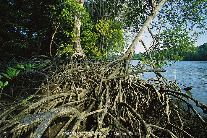 Mangrove (Rhizophora sp) in Mahakam Delta, 80% destroyed in 2001 because of shrimp farm, East Kalimantan, Indonesia  -  Cyril Ruoso