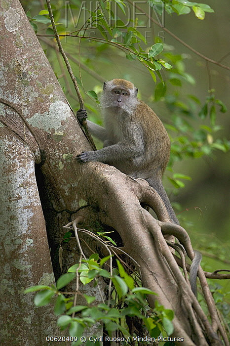 Long-tailed Macaque (Macaca fascicularis) in tree, Malaysia  -  Cyril Ruoso