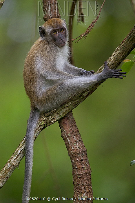 Long-tailed Macaque (Macaca fascicularis) juvenile in tree chewing on branch, Malaysia  -  Cyril Ruoso