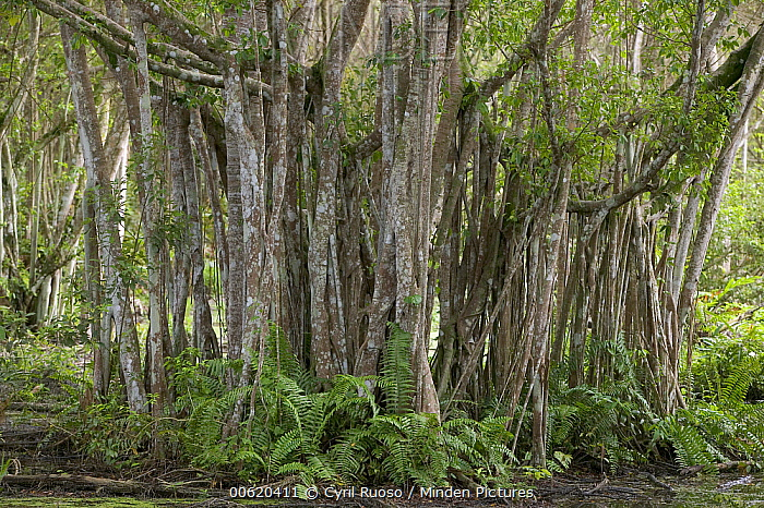 Fig (Ficus sp) tree, showing aerial roots which form minor trunks, Kuala Selangor National Reserve, Malaysia  -  Cyril Ruoso