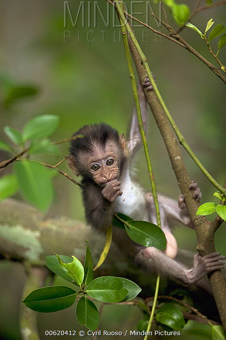 Long-tailed Macaque (Macaca fascicularis) baby in tree, Malaysia  -  Cyril Ruoso