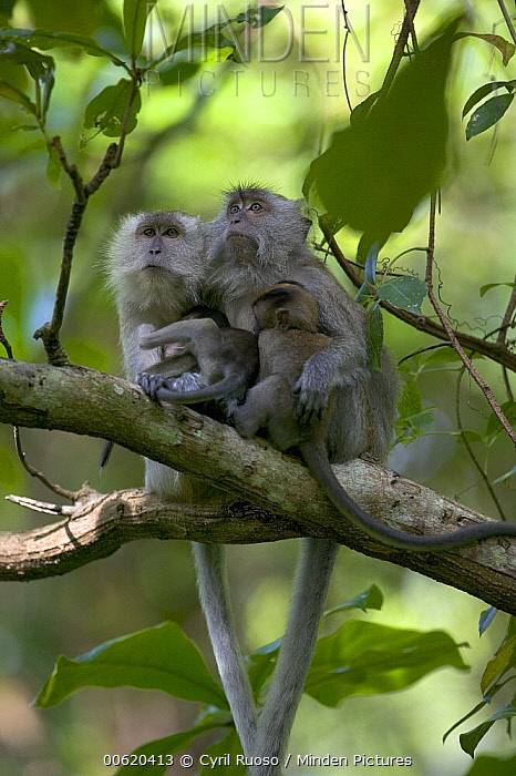 Long-tailed Macaque (Macaca fascicularis) pair in tree with babies, Malaysia  -  Cyril Ruoso