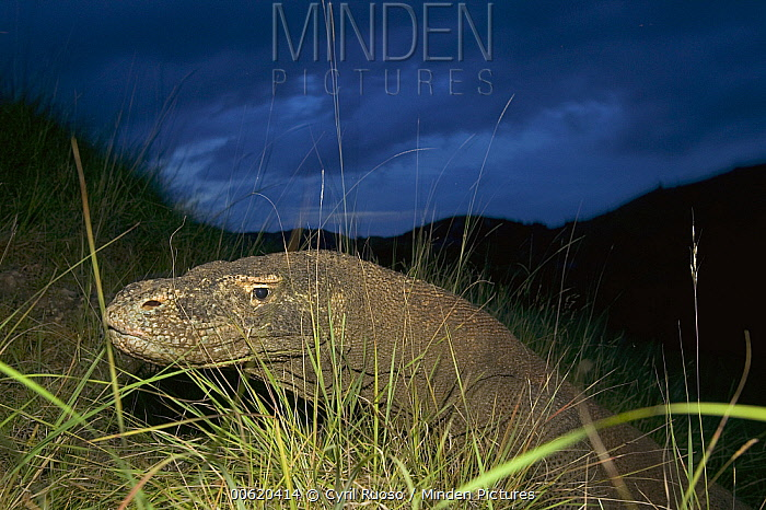 Komodo Dragon (Varanus komodoensis) at dusk looking for a sleeping den, Rinca Island, Komodo National Park, Indonesia  -  Cyril Ruoso